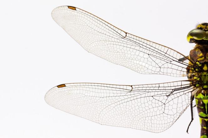 dragonfly-867888_1280